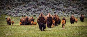 Bison Herd-1