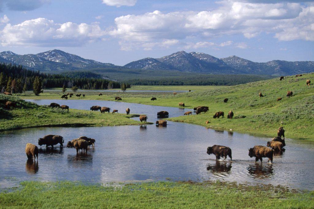 bison-herd-wallpaper-2